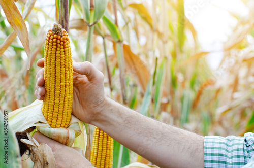 Peeled dry maize corn cobs on corn stalks in farmer's hand Canvas