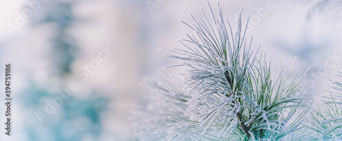 Fotografering Winter panorama of pine branches with snow and frost on a light background for d