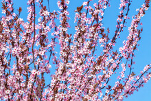 Spring Background, Flowering T...