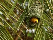 Holub's Golden Weaver (Ploceus Xanthops) - Yellow Weaver Bird Inside Its Nest Between Palm Tree Leaves, Botswana