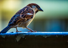 Sparrow On Balcony Railing Wit...
