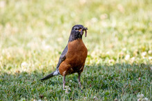 Robin With Insects In Its Beak