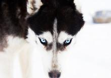 Husky Blue Ice Eyes Winter Bac...