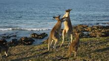 Kangaroo Fighting In The Grass