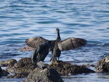 Mallard Duck On Rock By Sea