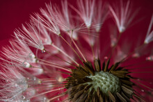 Close-up Of Red Dandelion