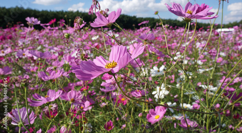 Slika na platnu Pink cosmos flowers in the field