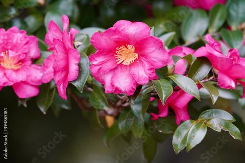 Fotografia camellia flowers