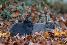 Two Cute Grey Rabbits Cuddle T...
