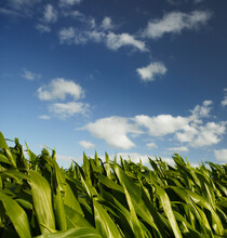 Tops Of Healthy Maize/corn Leaves Against Blue Sky
