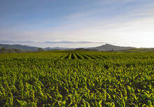 Looking Across Large Maize Field Towards Hills And Blue Sky
