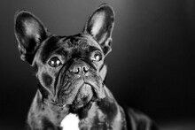 Close-up Portrait Of French Bulldog