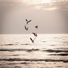 Seagulls Dancing Over Sea, Mon...