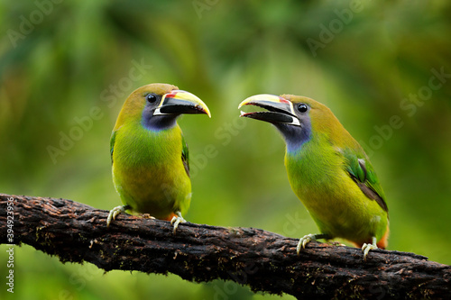 Fototapeta premium Blue-throated Toucanet, Aulacorhynchus caeruleogularis, green toucan in the nature habitat, mountains in Costa Rica. Wildlife scene from tropic forest. Green bird sitting on the branch.