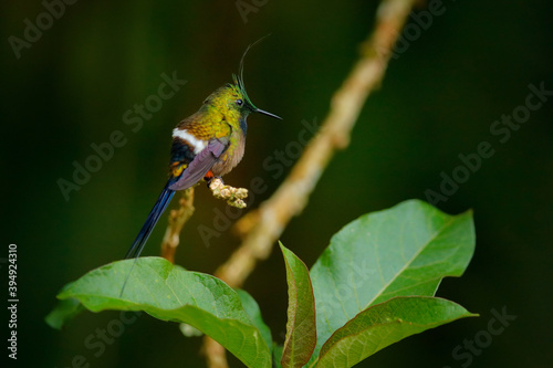 Obraz premium Wire-crested thorntail, Discosura popelairii, hummingbird from Colombia, Ecuador and Peru. Beautiful bird with crest, siting in the green tropic forest, Sumaco, Ecuador. Birdwatching in South America