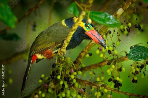 Fototapeta premium Ecuador rare toucan. with fruits. Golden-collared Toucanet, Selenidera reinwardtii, in the nature forest habitat. Bird in the tropic jungle, Sumaco, Napo, Ecuador.