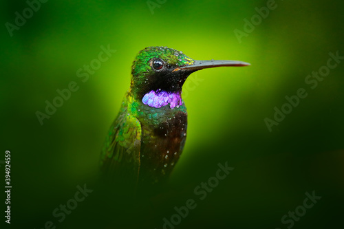 Obraz premium Heliodoxa schreibersii, Black-throated Brilliant, detail portrait of hummingbird from Ecuador and Peru. Shiny tinny bird, green and violet plumage. Tropic forest in Ecuador. Wildlife nature.