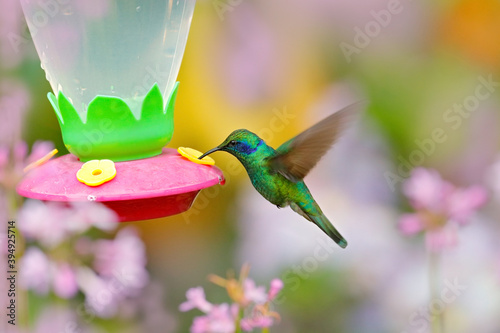 Obraz premium Feeder with hummingbird. Tropic wildlife. Hummingbirds with orange flower. Two green birds Green Violet-ear, Colibri thalassinus, flying next to beautiful yellow flower, Savegre, Costa Rica.