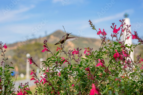 Obraz premium Hummingbird on flowers in the Park is the Griffith Observatory. Los Angeles. The smallest bird on the globe is a Hummingbird. It is called