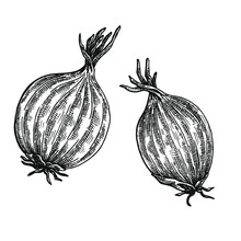 Hand Drawn Black And White Crosshatch Vector Illustration Of Two Onions. No Background.