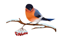 Bird Bullfinch On A Snow-covered Spruce Branch. Christmas And New Year Concept. Can Be Used For Postcard Decoration. Rowan Sprig