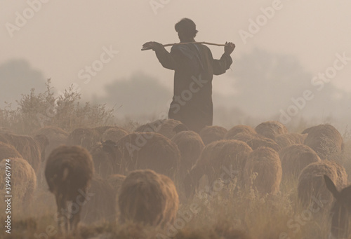 Canvas-taulu sheep herd with shepherd in dust , nomadic life of shepherds dust clouds and she