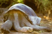 Galapagos Giant Tortoise..