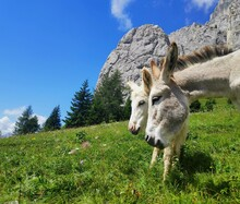Two Donkeys, Mother And Colt, Grazing Freely On The Dolomites Mountains In Italy