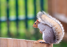 Grey Squirrel Sitting On A Wooden Fence With A Natural Blurred Background