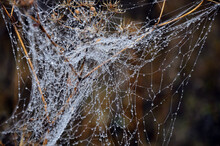 Water Drops On A Spider Web Hanging On Dry Grass On A Blurred Background