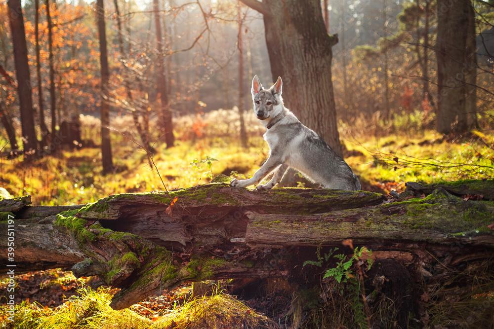 Fototapeta Młody pies na spacerze w jesiennym lesie