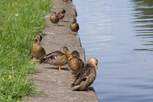 Bird, Duck, Duck, Nature, Rive...