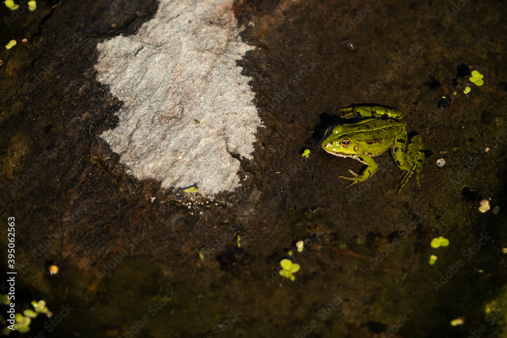 Fototapeta Lithobates clamitans, green frog on a rock that is partially submerged in the water