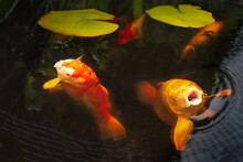 Koi Carp Fish In A Pond. Two Large Fish Are Coming To The Surface With Their Mouths Open. There Are Two Lily Pads In The Pond.