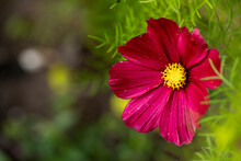 Red Cosmos From The Sunflower Family