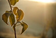 Mulberry Leaves On A Cold Autumn Morning
