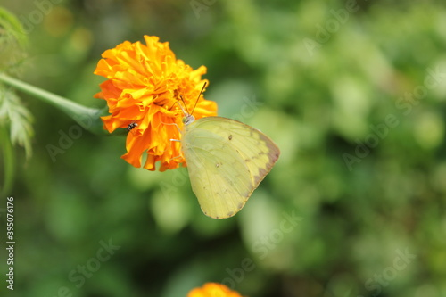 Photo common emigrant or lemon emigrant, sitting on the marigold with blurred background