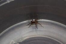 Adult Alopecosa Farinosa Spider Indoor