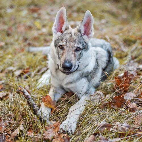 Fototapeta Młody pies w jesiennym lesie obraz