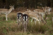 Picture Of Deers With White And Black Tail