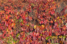 Autumn Background In Rustic Style. The Wall Of The Old Barn And The Thickets Of Wild Grapes