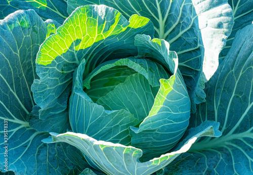 Papel de parede Close up of cabbage in the cabbage patch