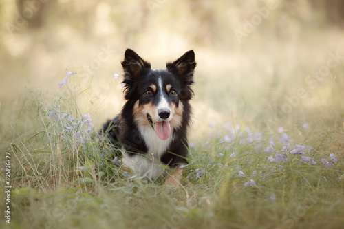 Obraz Dog in the forest. funny border collie in nature - fototapety do salonu