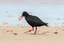 One African Black Oystercatcher Feeding On The Beach