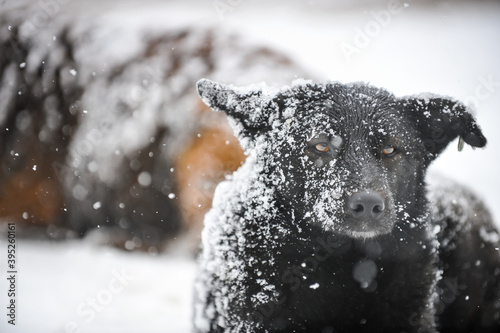 Stray dogs out in the snow during a cold and snowy winter day. © MoiraM