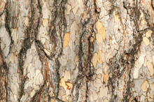 Pinus Nigra Subsp 'Laricio'  Brown Tree Bark Macro Close Up Texture Background Commonly Known As Corsican Pine Or Pinus Corsicana, Stock Photo Image