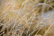 Wild Grasses In Winter Are Cov...