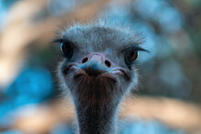 Close Up Of African Ostrich Bird Head On The Blur Background.