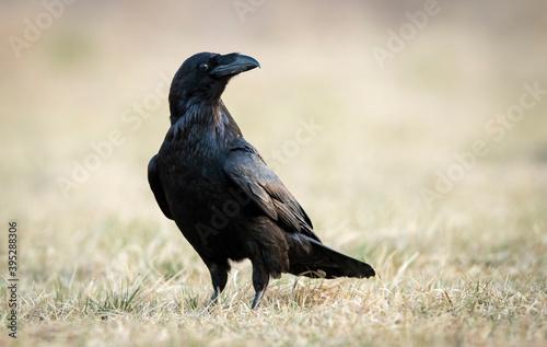 Fototapeta premium Raven (Corvus corax) close up