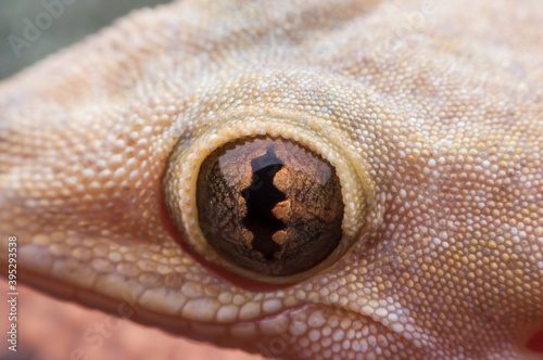 Fotografiet Close-up of common house gecko eyes